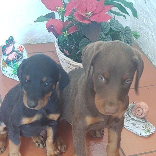 large doberman puppies