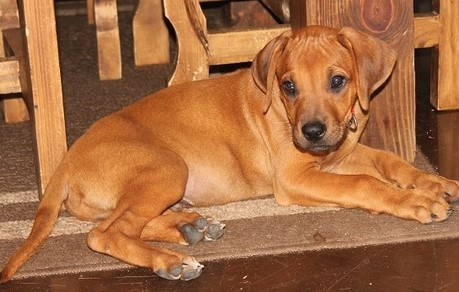 Rhodesian Ridgeback Puppies(DM Tested Parents)