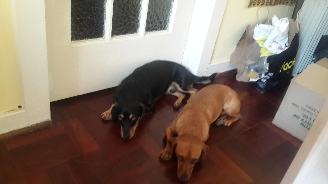 2x Beautiful Loving Caring Dachshunds