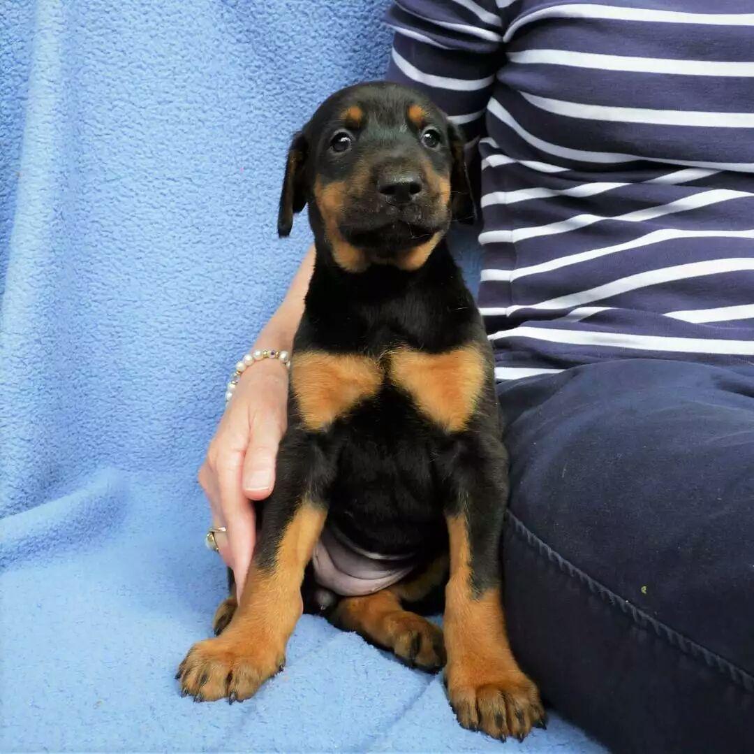 Purebred Doberman Puppies | Junk Mail
