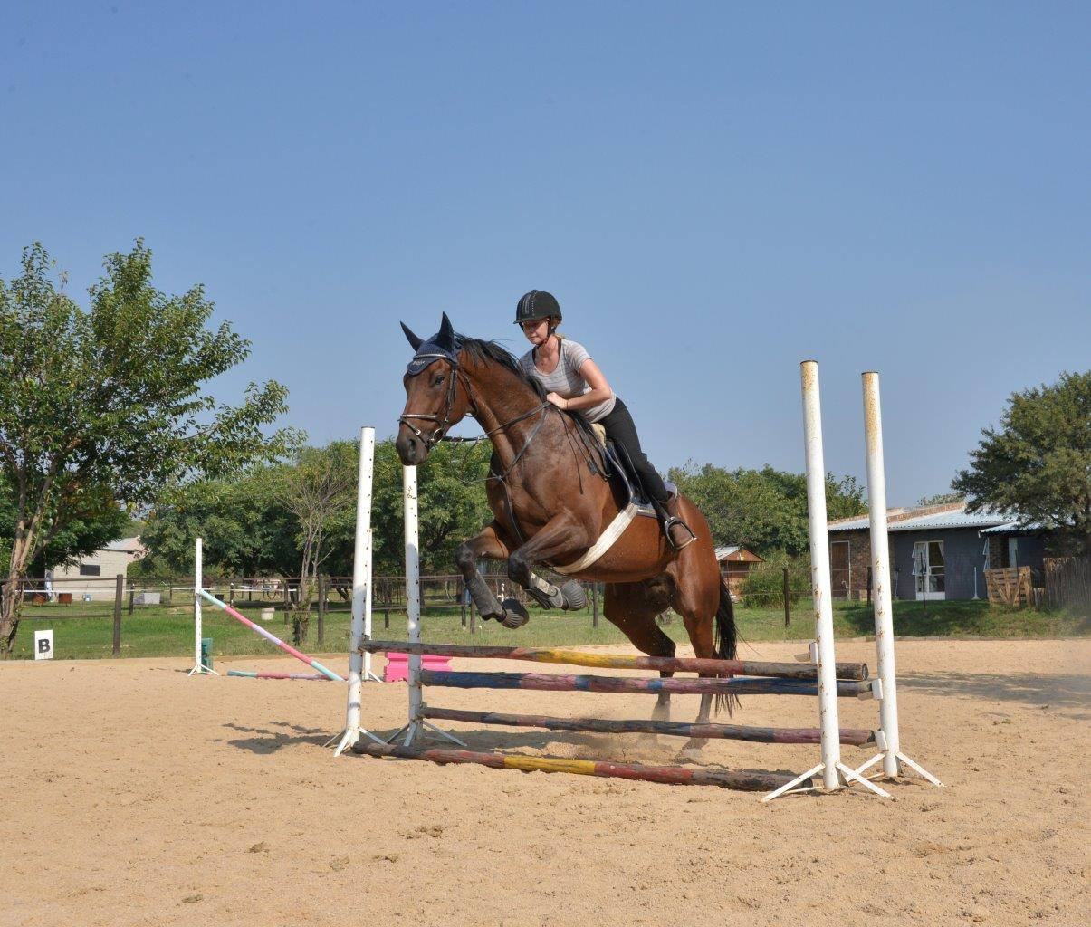 Stunning solid and tall tb gelding