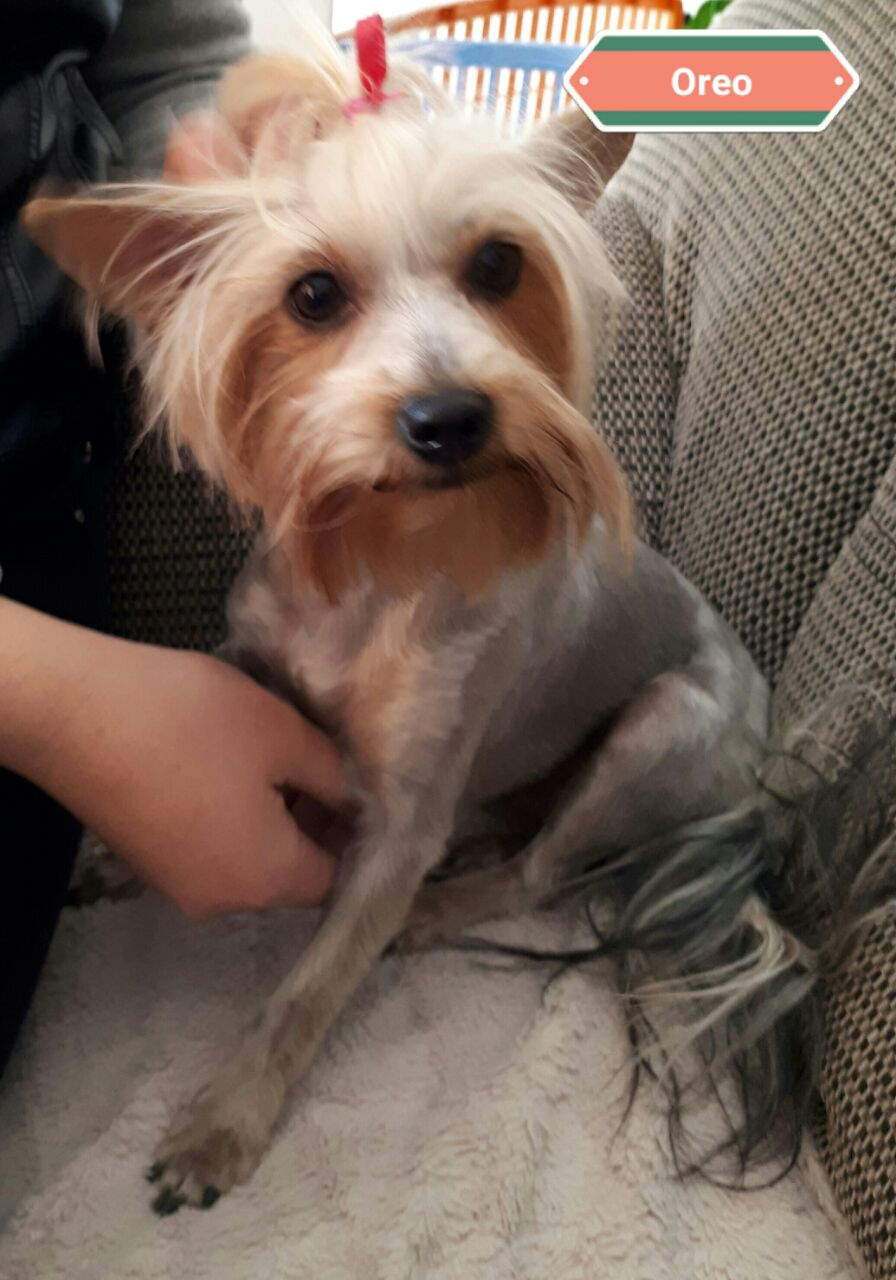 Registered Traditional Yorkies for sale