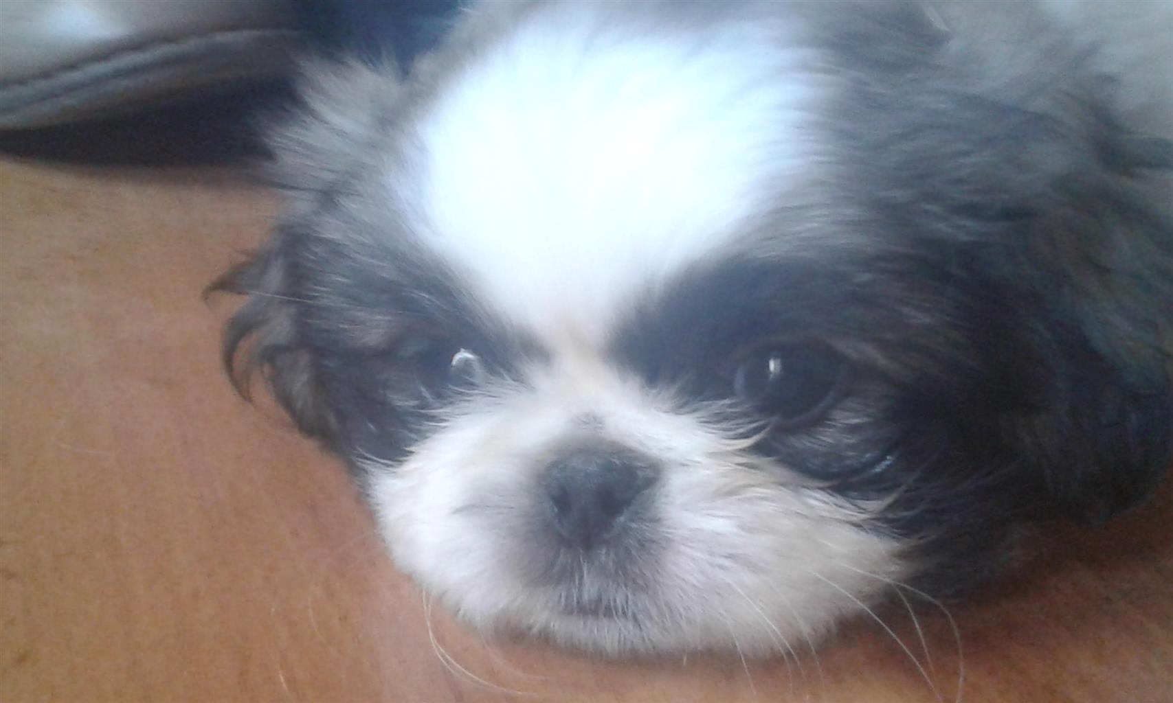 Pekingese male puppy