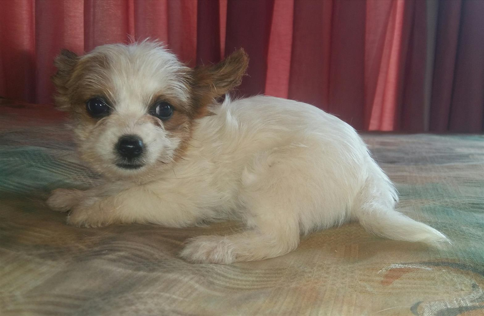 Yorkshire Terrier White-Sable miniature female puppy