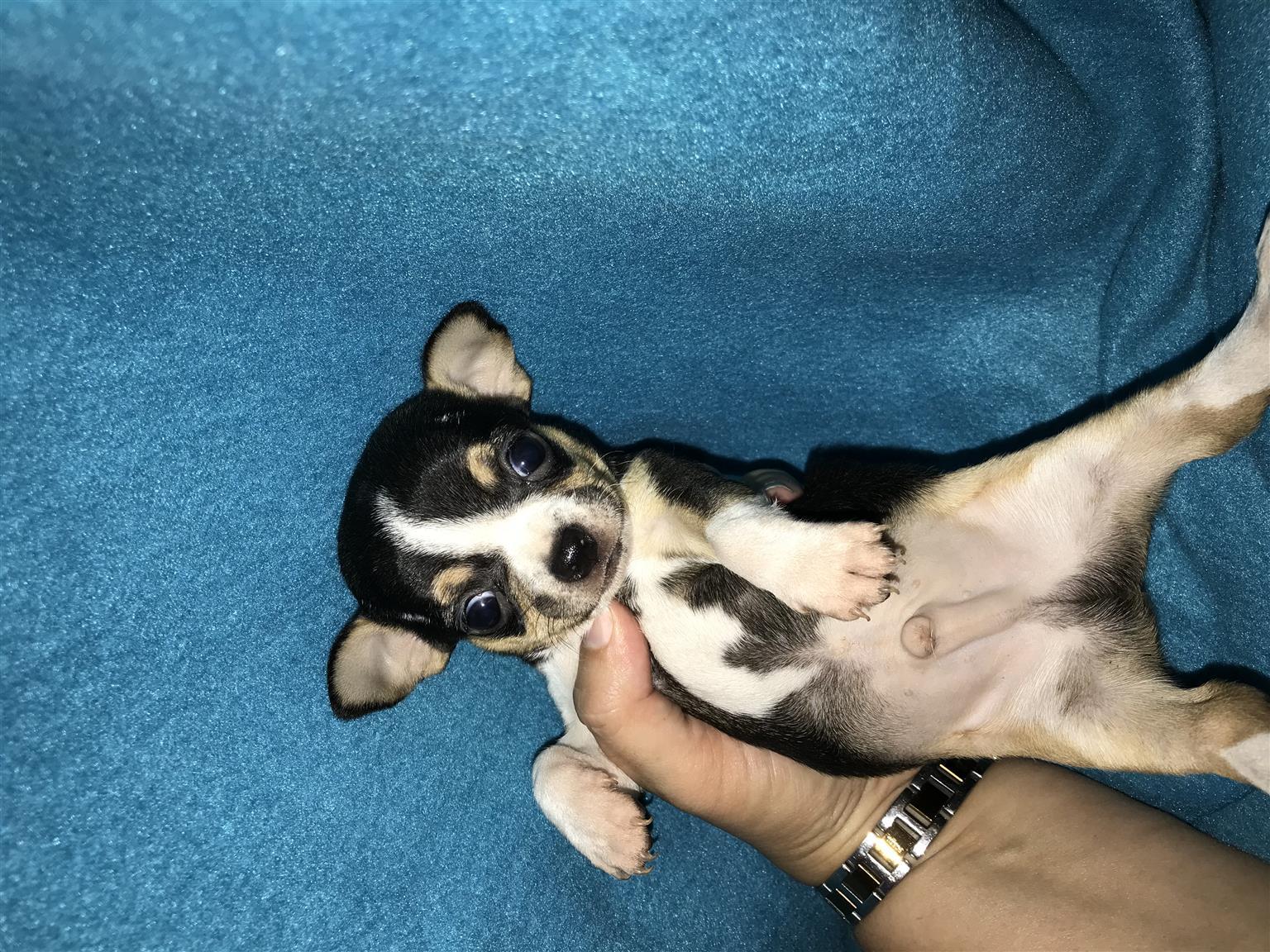Beautiful pure breed Chihuahuas