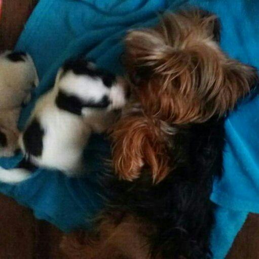 Miniature Morkie puppies