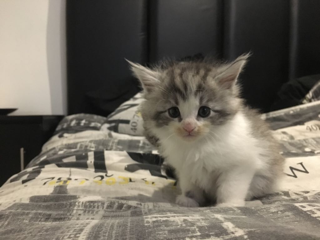 Maine coon Kittens - Pure Breed - inoculated and dewormed - Available