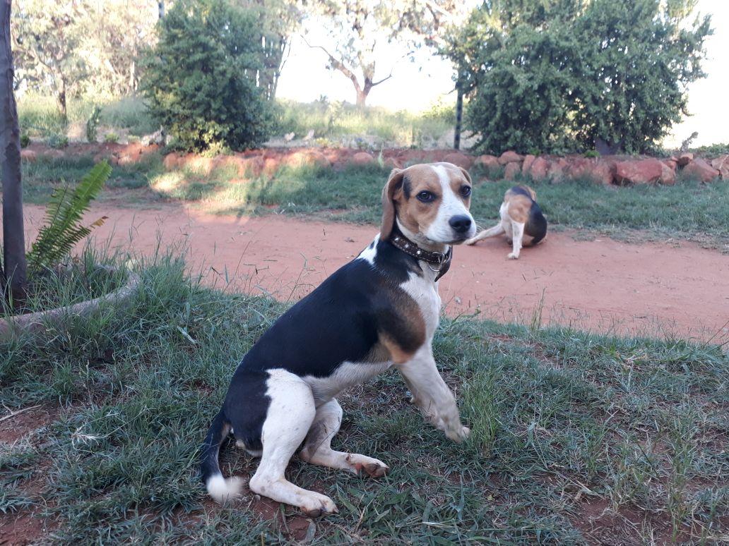 Beagle Breading Pair