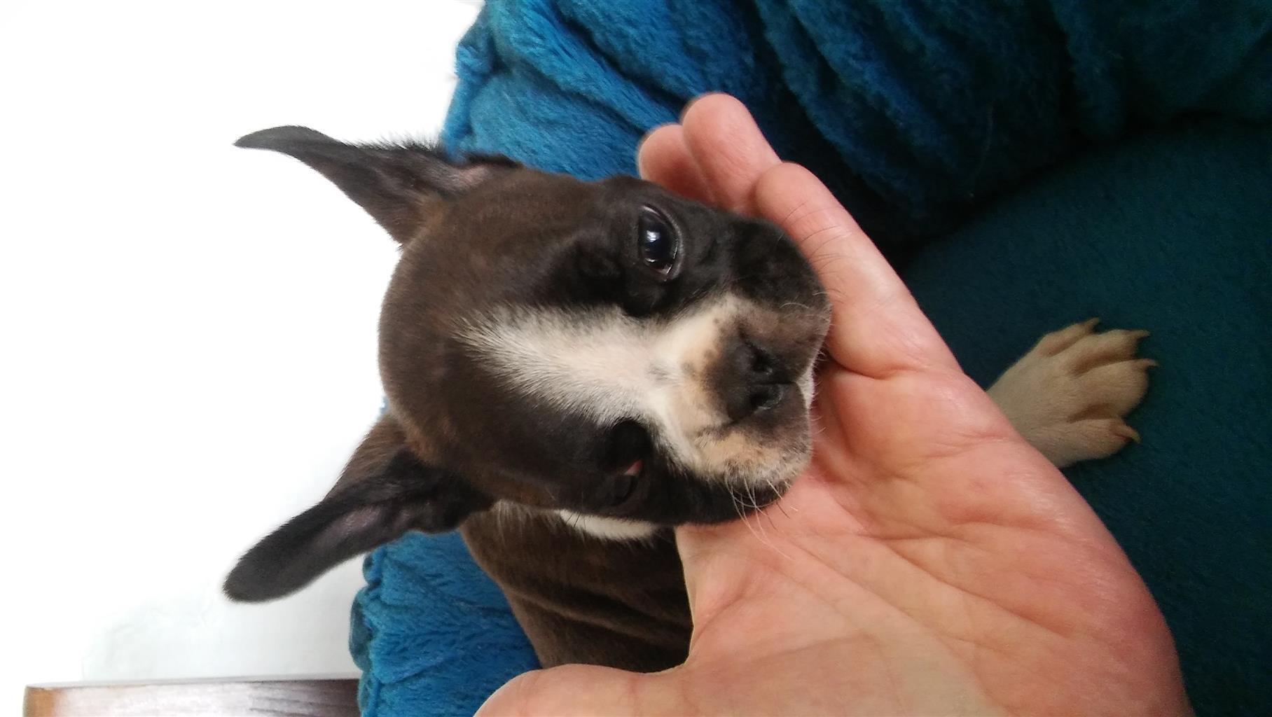 Boston Terrier Male Puppy