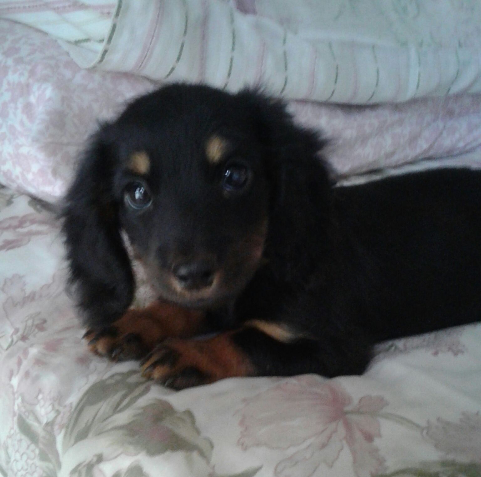 Dachshund Black and Tan Puppy Longhair