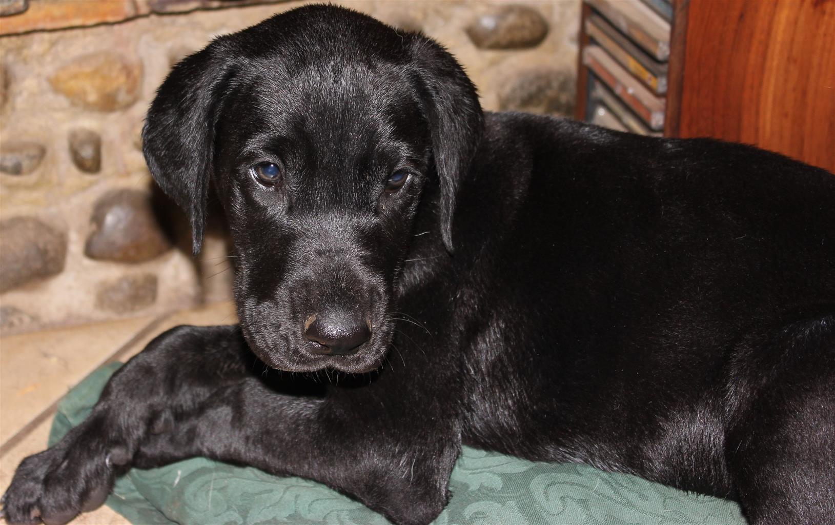 registered Great Dane puppys, 8 weeks old
