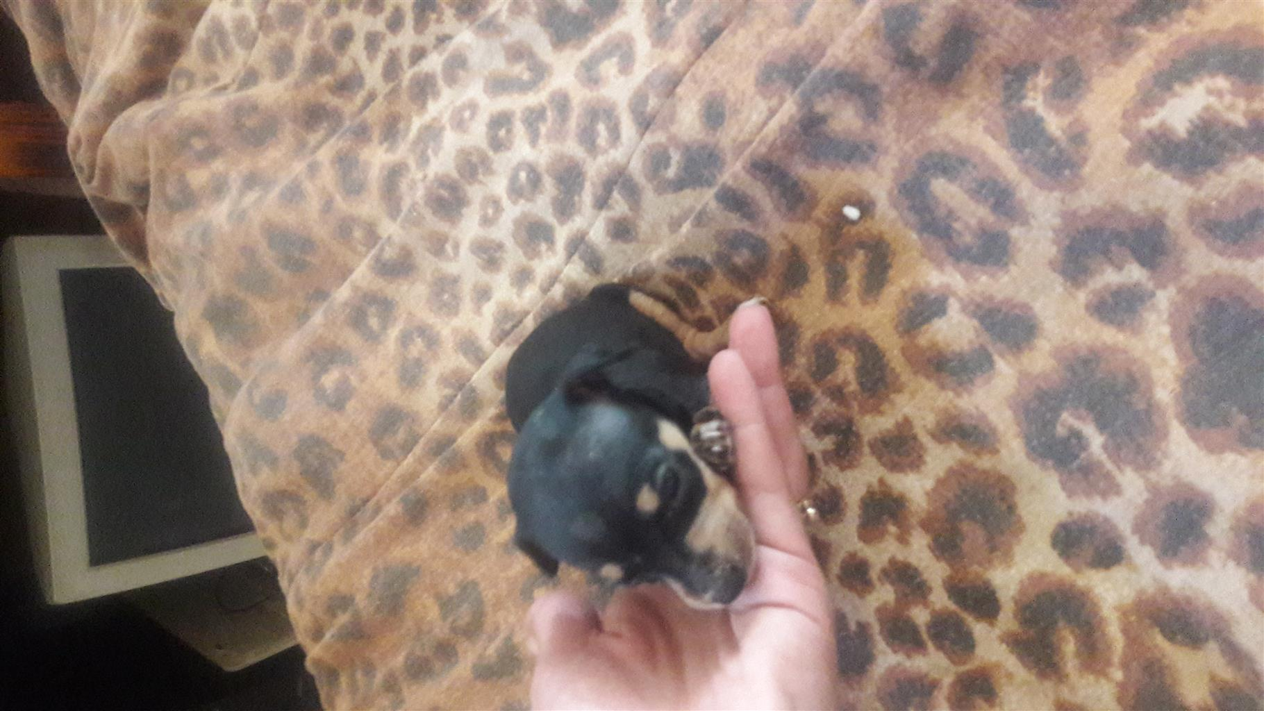 Miniature doberman pincher