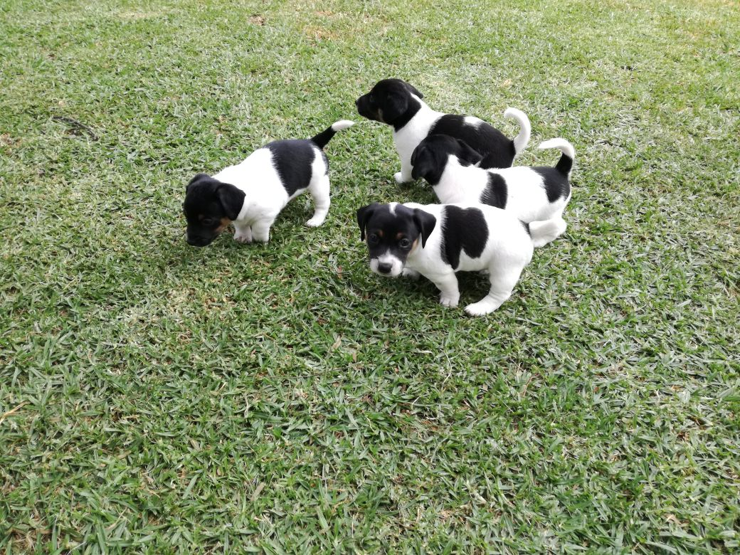 Jack Russell puppies tricolor