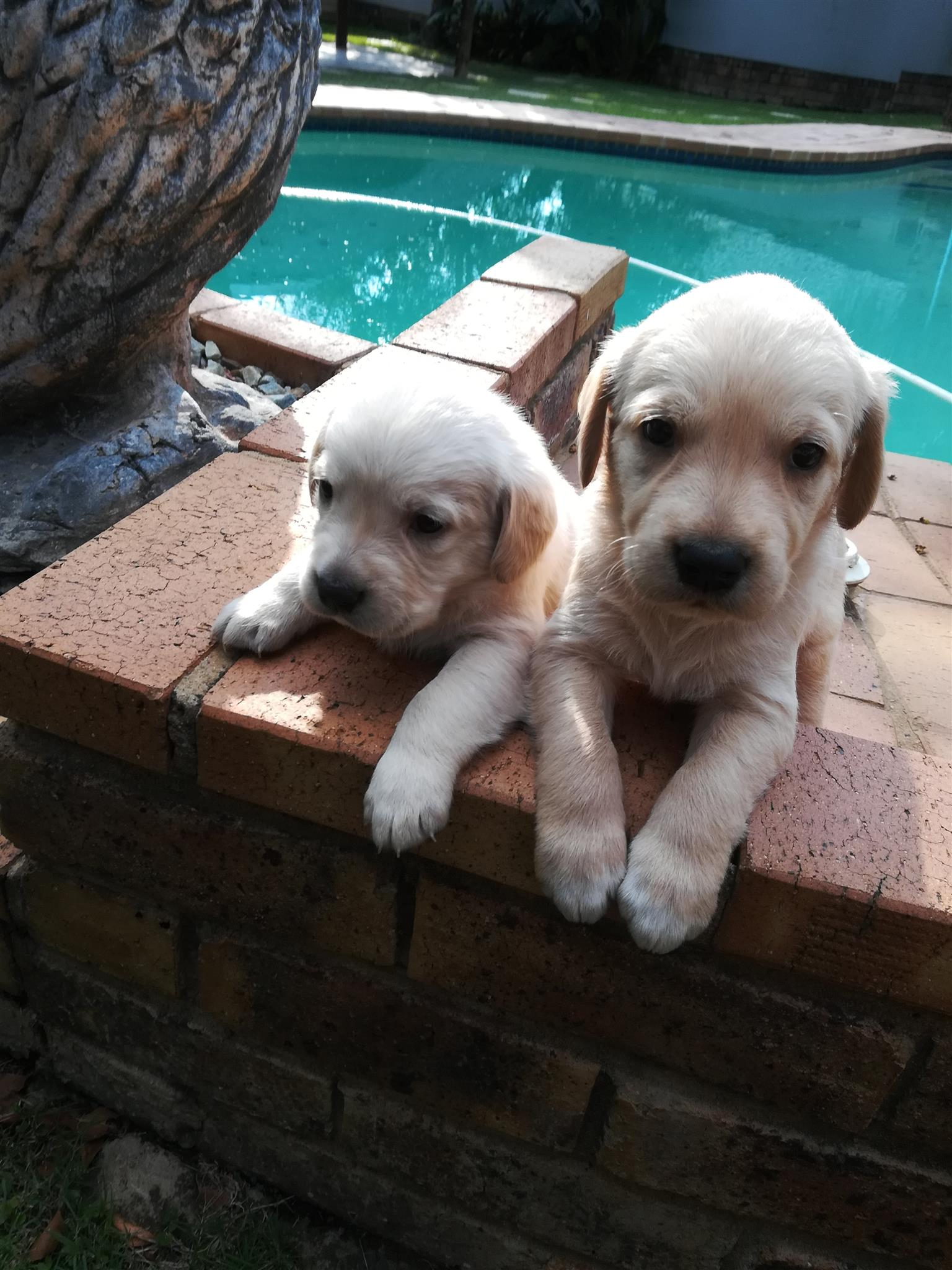 Golden retriever babies