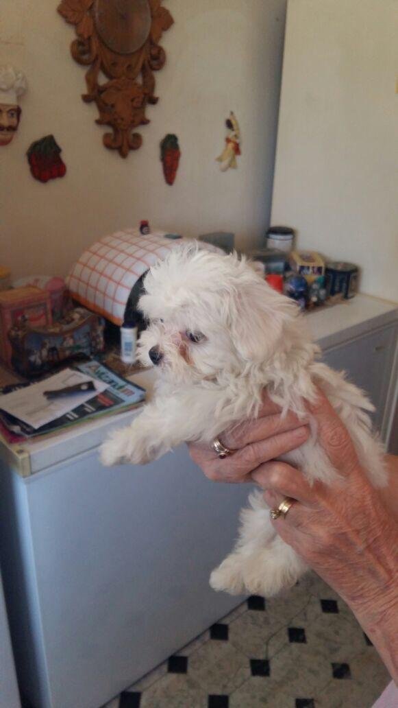 Miniature Maltese puppy for sale
