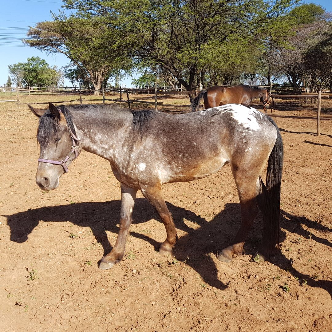 2 Horses & 1 Pony for Sale
