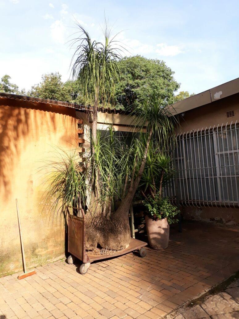 Ponytails Palm Trees