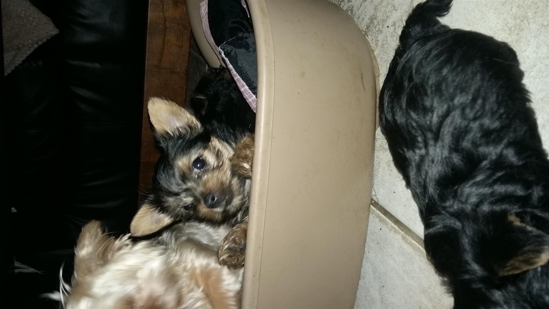 Yorkhire puppies