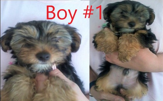 12 Week Old Yorkie Puppies For Sale Urgent Junk Mail