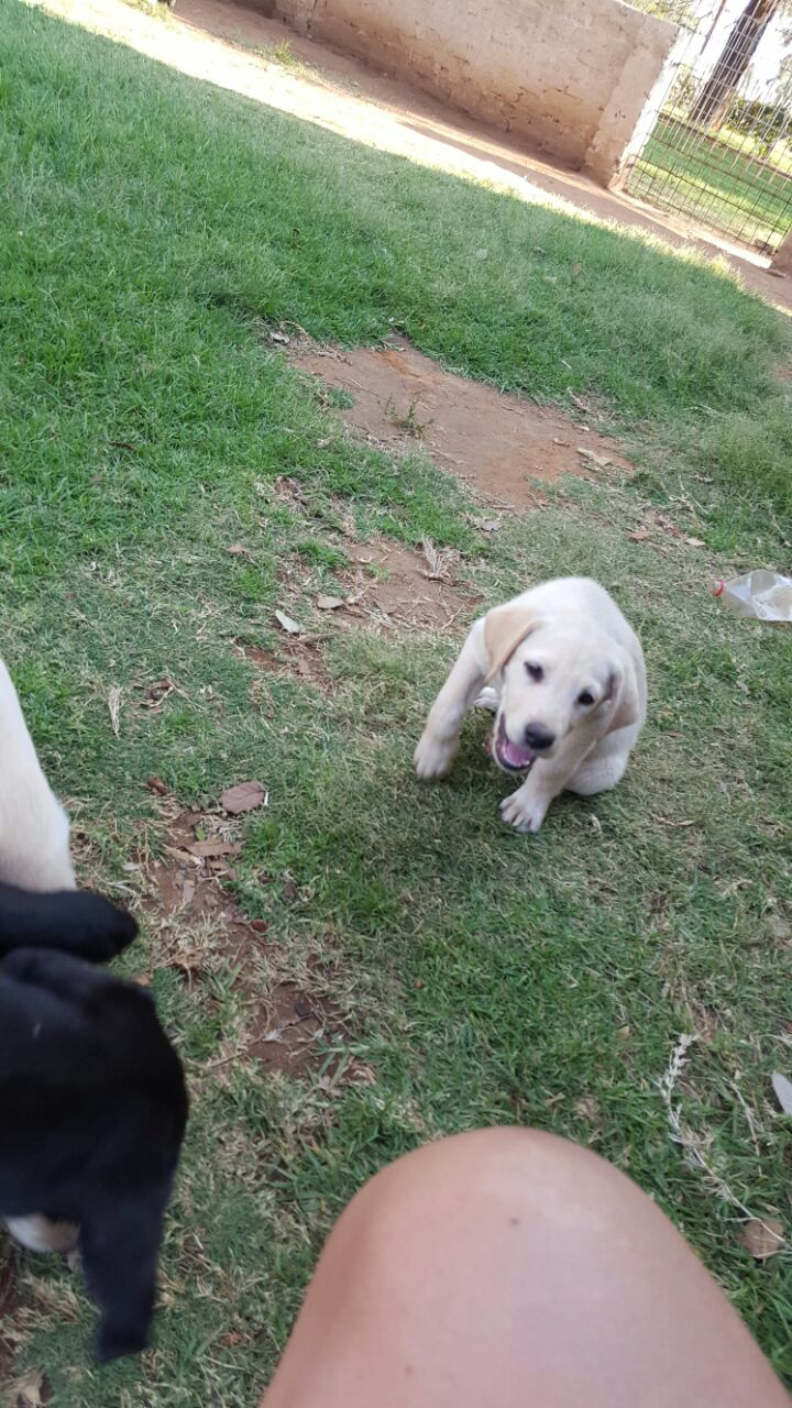 Pedigree Labrador puppies for sale