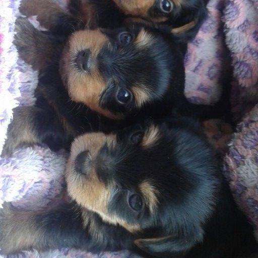 Yorkie smallest type pups