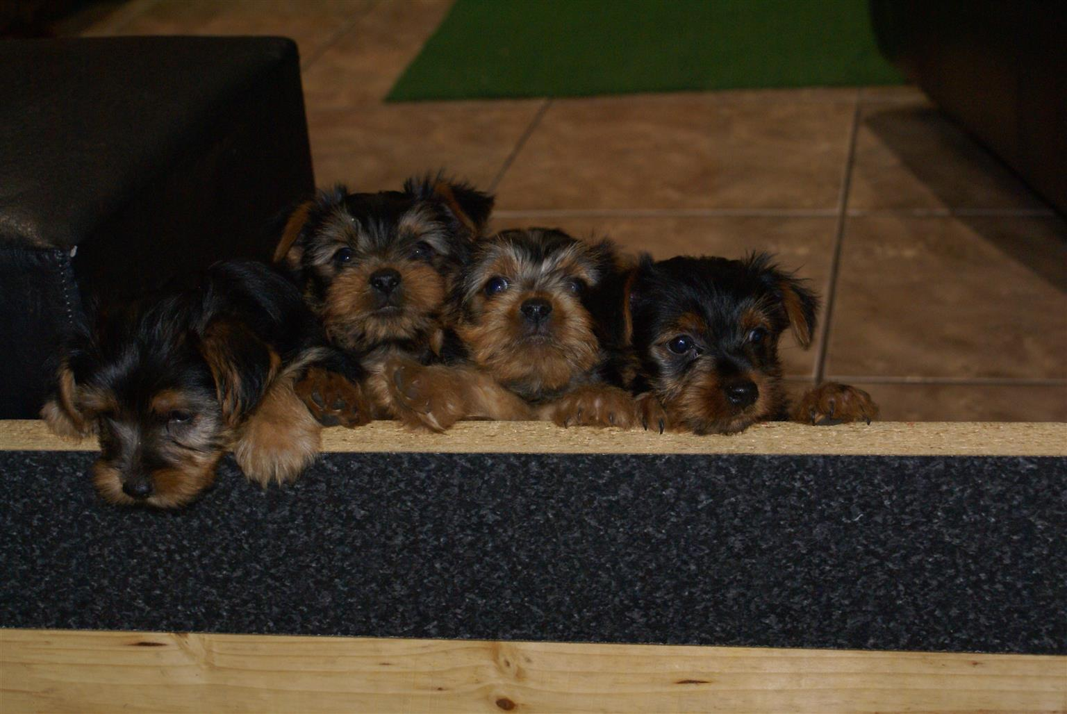 Yorky Puppies