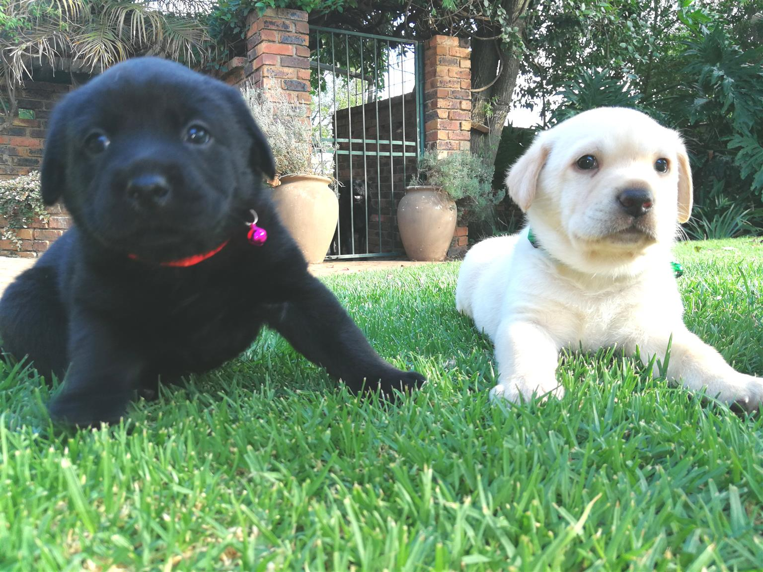 Chow/Lab Puppies for sale - 6 puppies left