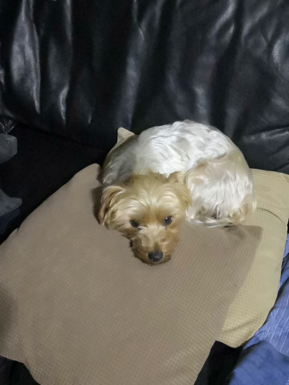 Yorky for sale