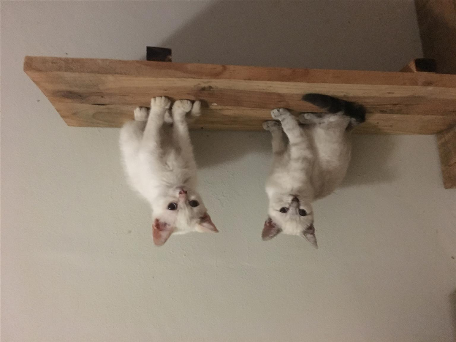 2 beautiful Apple head siamese kittens available