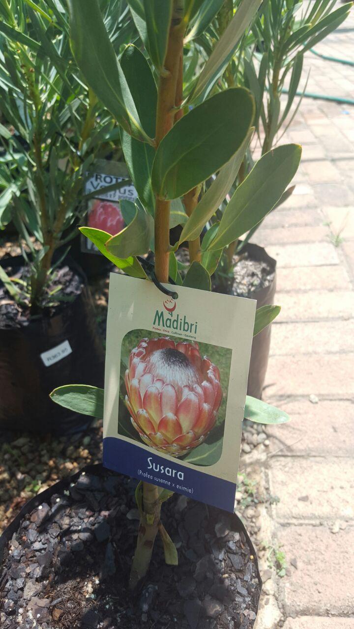 Proteas, Ericas & Pincushions