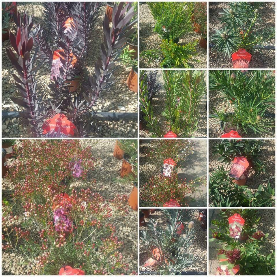 Proteas, Erica's & Pincushions