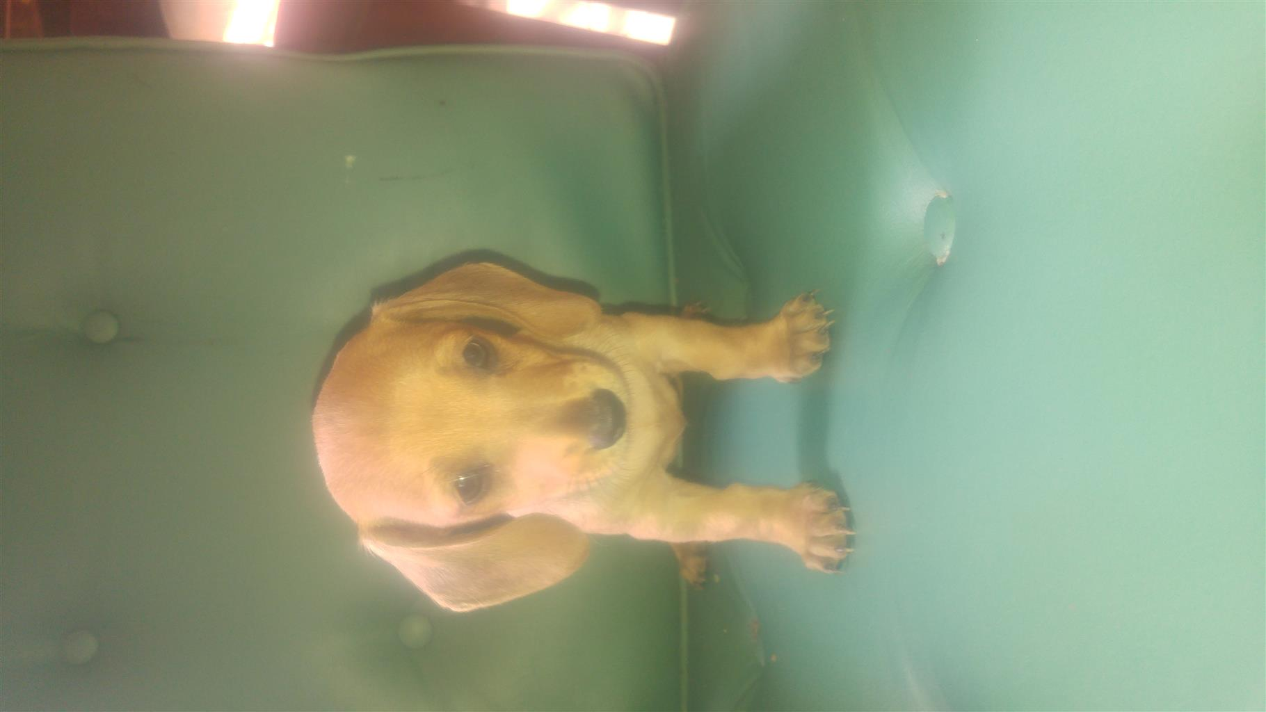 Miniature Daschund Puppies For Sale