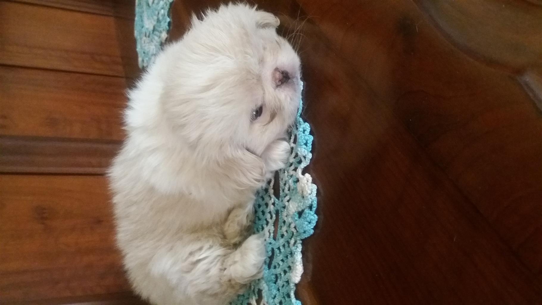 Pekingese puppies tea cup for sale