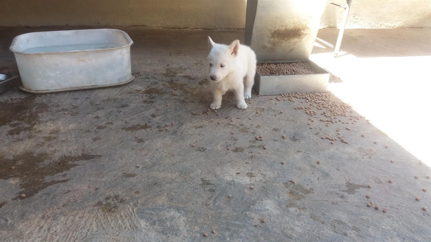 Huskey cross swiss shepard puppies 8 weeks old