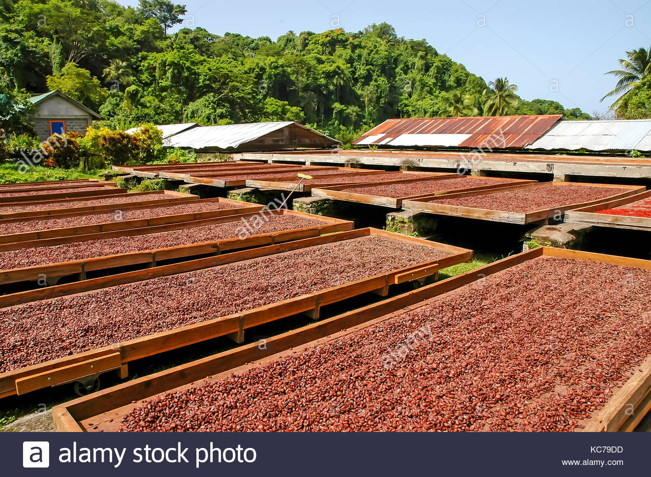 DRY COCOA BEANS FROM CAMEROON FOR SALE