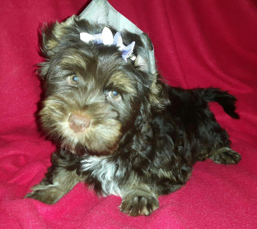 Yorkshire Terrier  Solid Chocolate Female