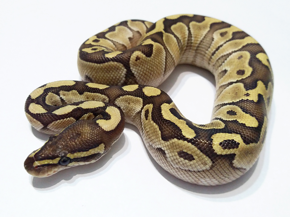 Butter Yellow Belly Ball Python Female
