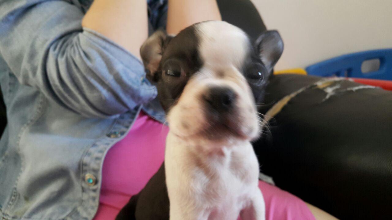 Boston terrier female pup