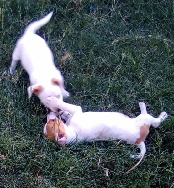 Jack Russell pups for sale