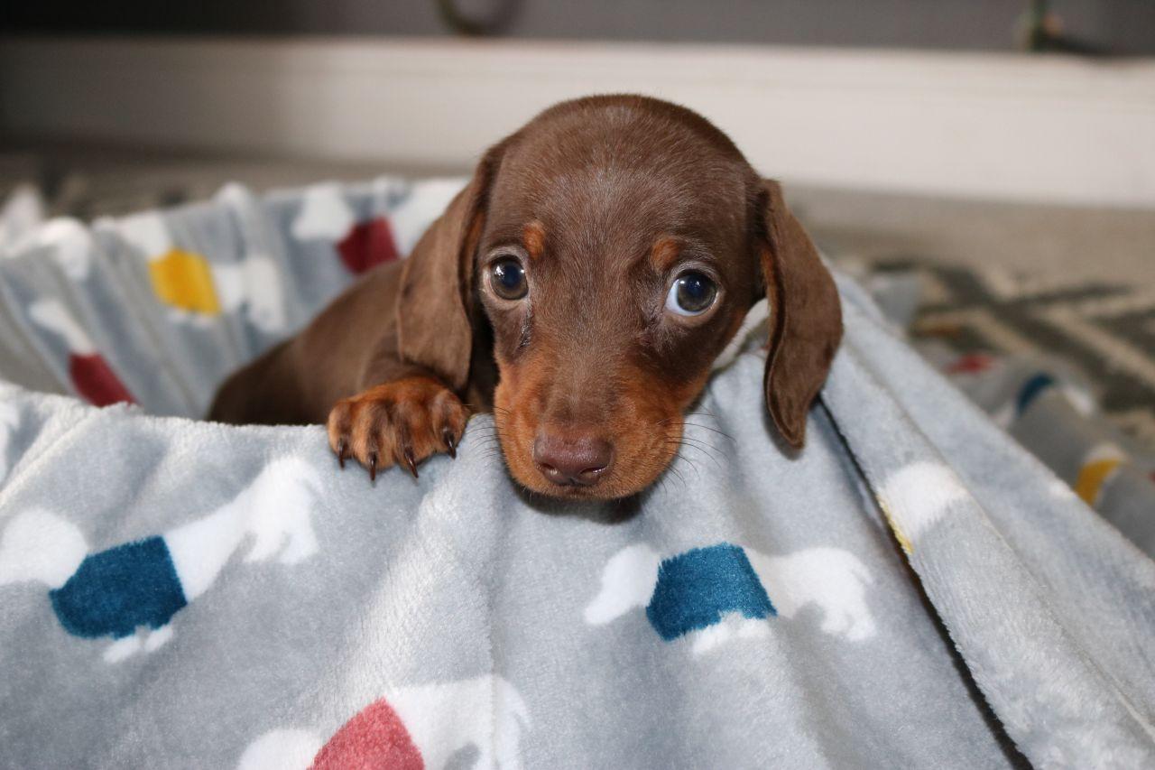 2 Miniature Dachshund puppies