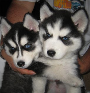 Siberian Husky Puppies (blue eyes )