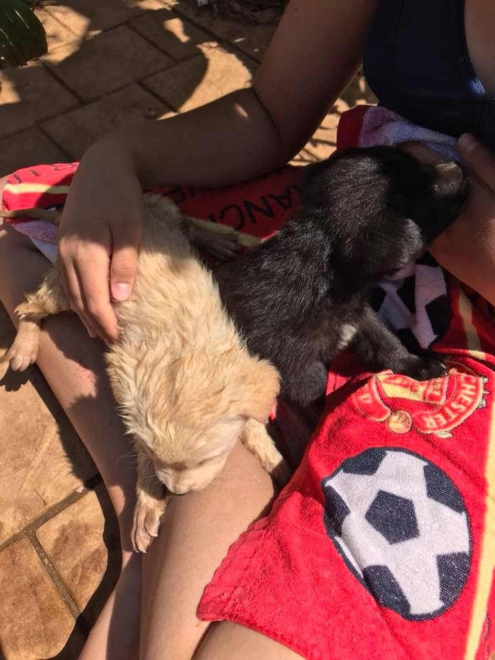Labrador x German Shepherd puppies for sale