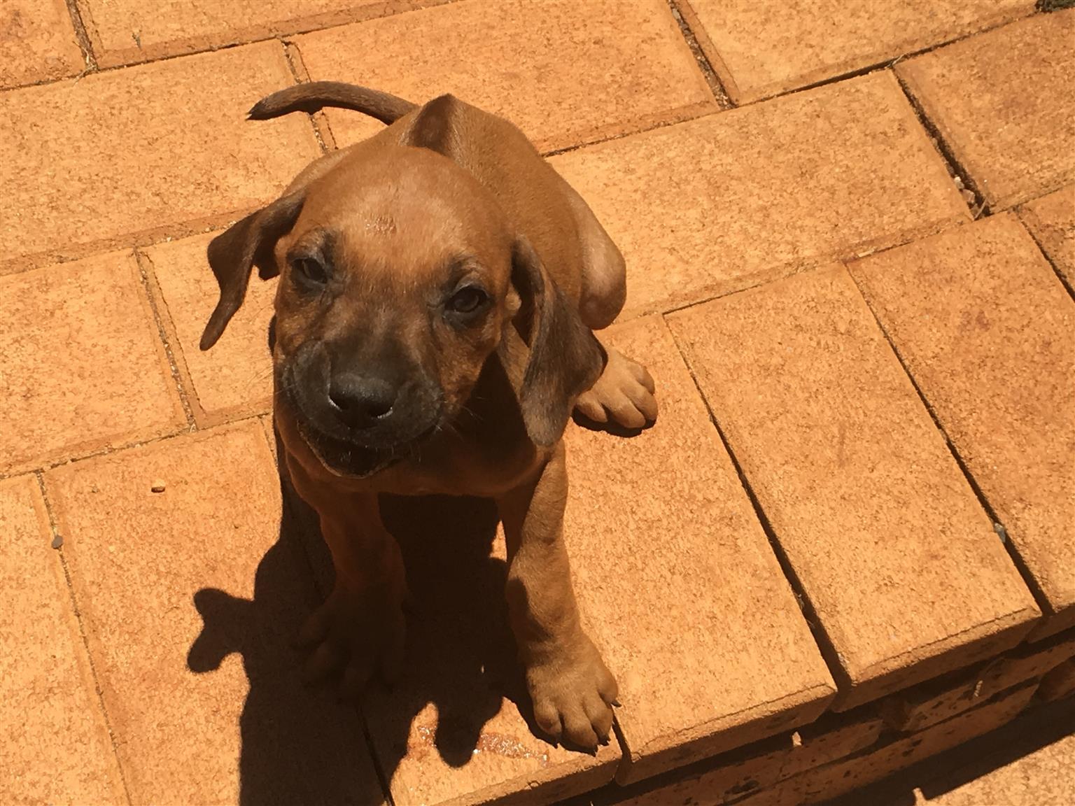 Purebred Rhodesian Ridgeback Puppies for Sale