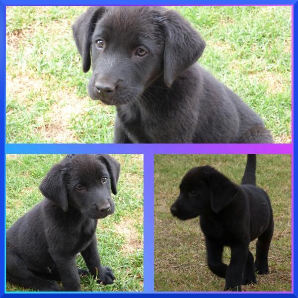 Pure bred labrador puppie 1 x male left