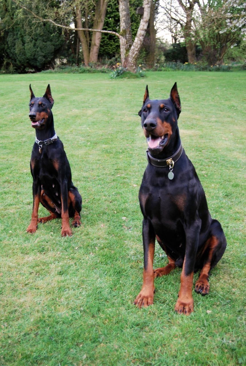 Old Junk Cars For Sale >> Dobermann Puppies | Junk Mail