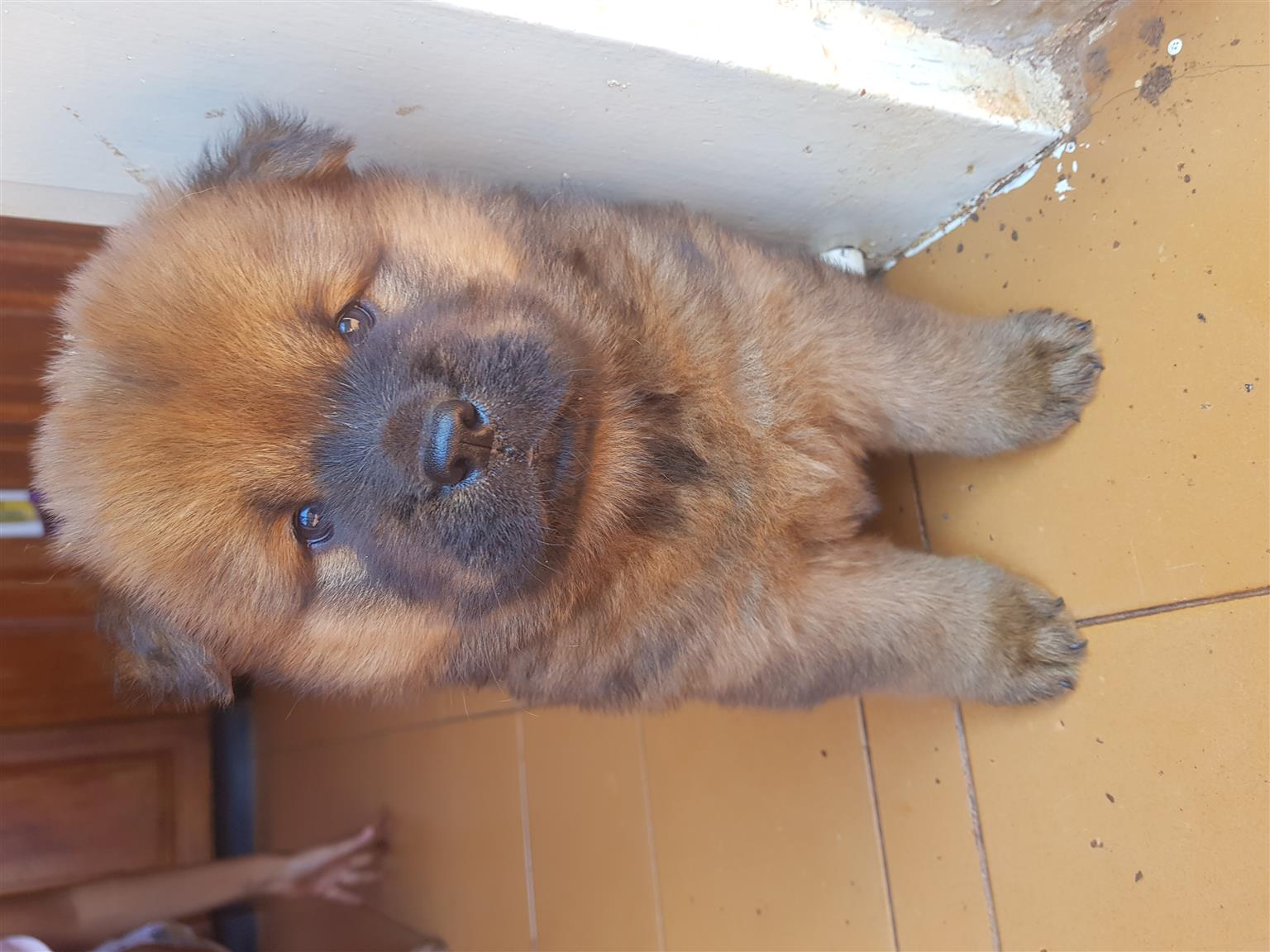 Chow chow pups