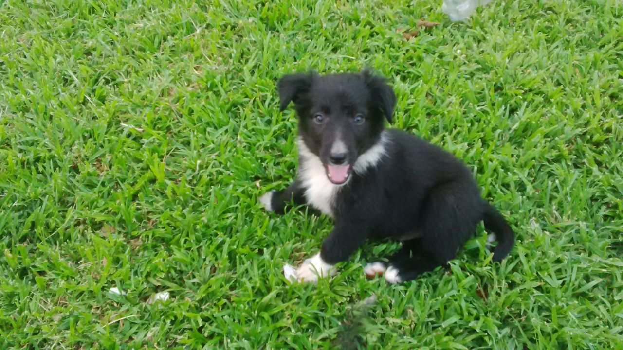 Border Collie Puppies For Sale Junk Mail