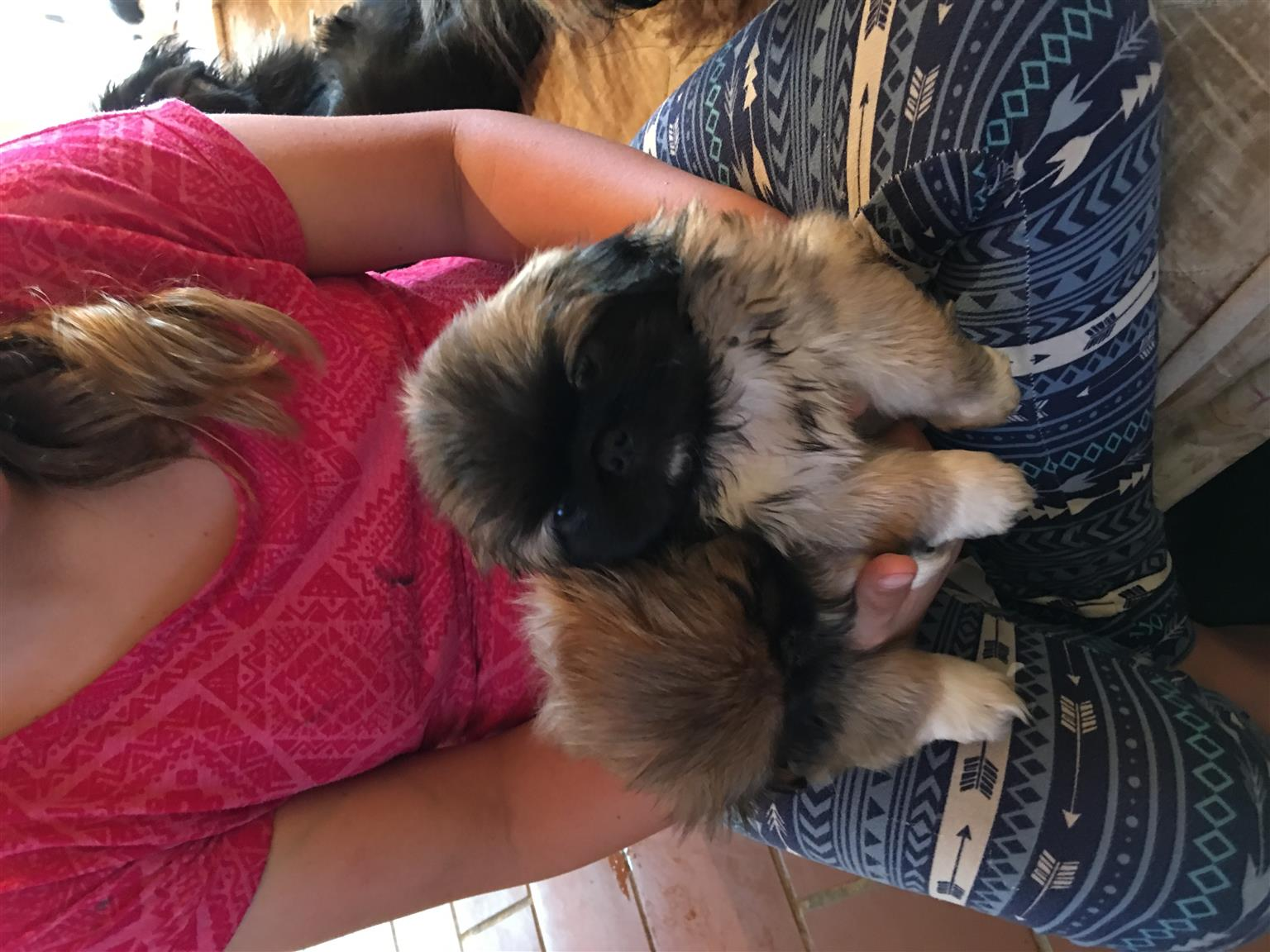 Pragtige Pekengese puppys