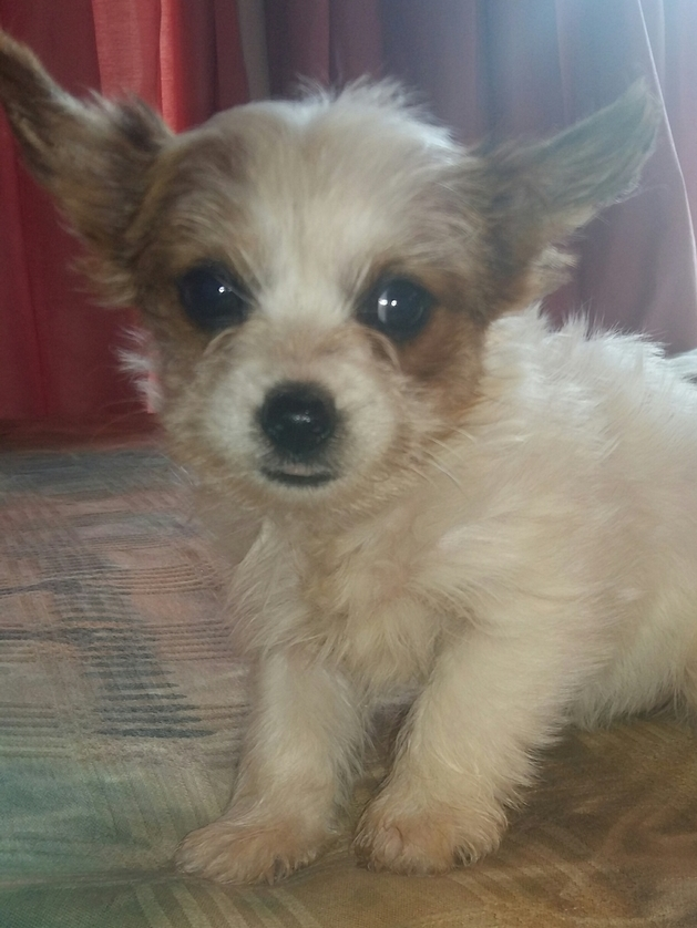 White-Sable Yorkshire Terrier female puppy