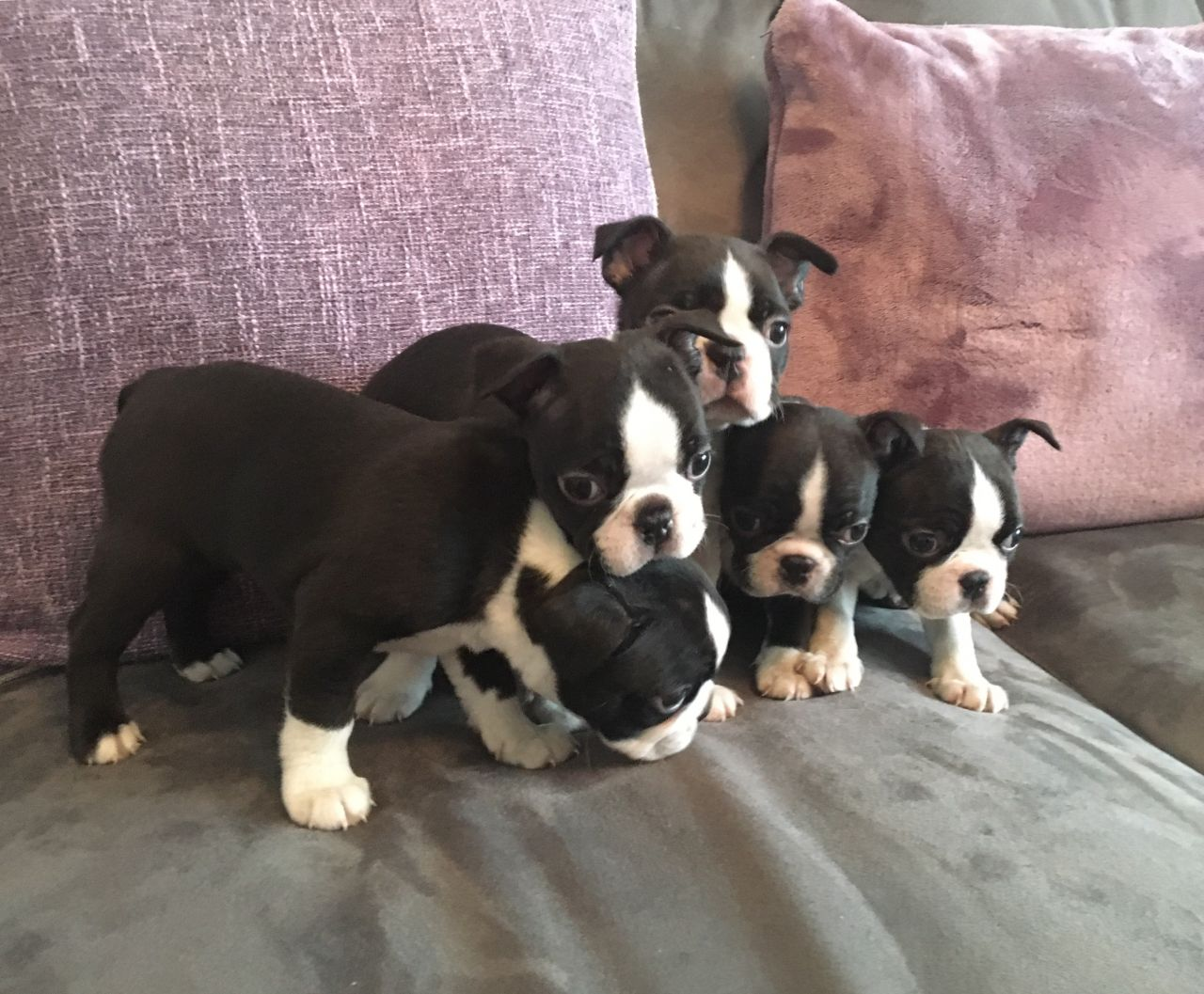 Outstanding Boston Terrier Puppies For Sale